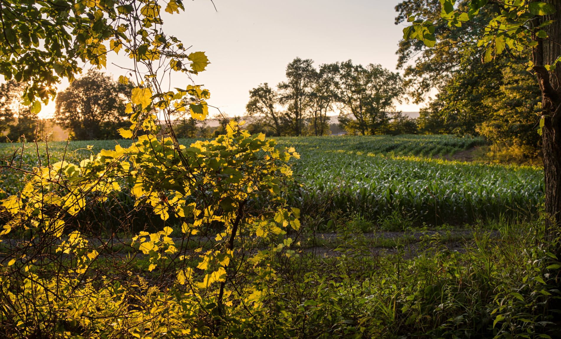 Green corn field surround by yellow and green trees with the setting sun peaking through the trees