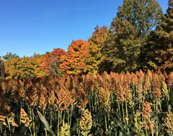 Amber and green meadow grass surrounded by deciduous trees with multi-colored fall leaves and blue skies